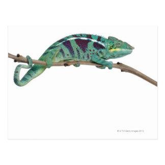 Carte Postale Le caméléon de panthère fouineur soit (les