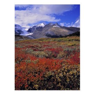 Carte Postale Le Canada, Alberta, Banff NP. Les airelles