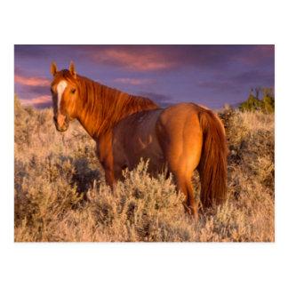 Carte Postale Le cheval sauvage du comté de Harney se tient