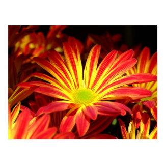 Carte Postale Le chrysanthème rouge et jaune fleurit