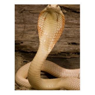 Carte Postale Le cobra de Monacled albinos, kaouthia de Naja, a