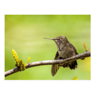 Carte Postale Le colibri d'Anna au repos