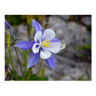 Carte Postale Le Colorado Columbine