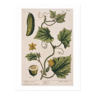 """Carte Postale Le concombre de jardin, plaquent 4 """"d'un de fines"""