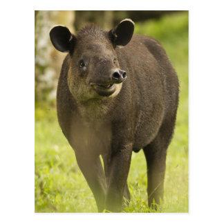Carte Postale Le Costa Rica. Bairdii de Tapirus de tapir de