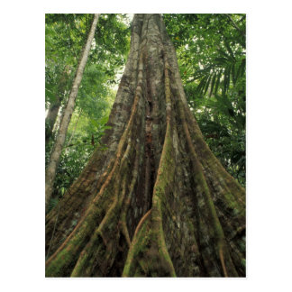 Carte Postale Le Costa Rica, parc national de Corcovado, étayé