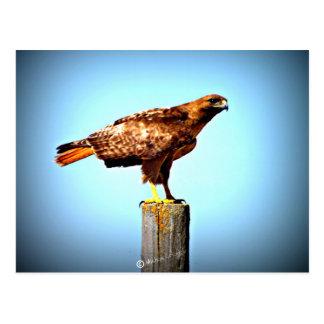 Carte Postale Le faucon de Swainson