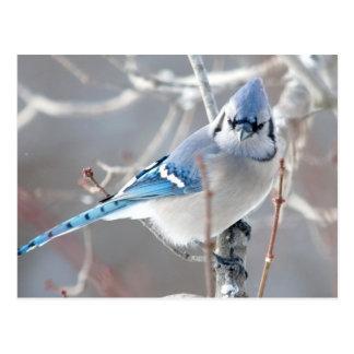 Carte Postale Le geai bleu 1
