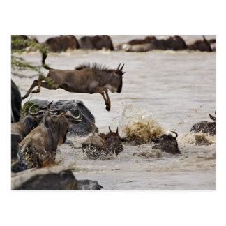 Carte Postale Le gnou sautant dans la rivière de Mara pendant