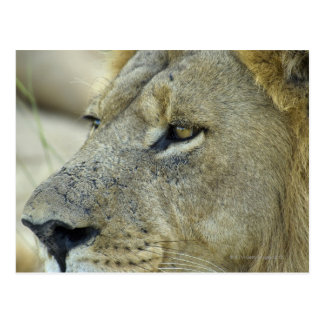 Carte Postale Le grand rouge est un lion masculin magnifique