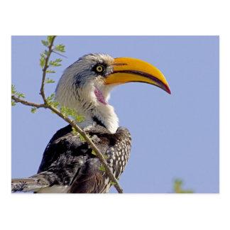 Carte Postale Le Kenya. Profil d'oiseau jaune-affiché de calao