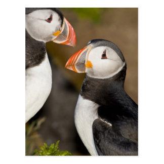 Carte Postale Le macareux atlantique, un oiseau marin pélagique,