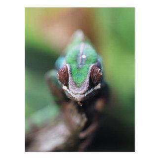 Carte Postale Le Madagascar, caméléon rouge de panthère de barre