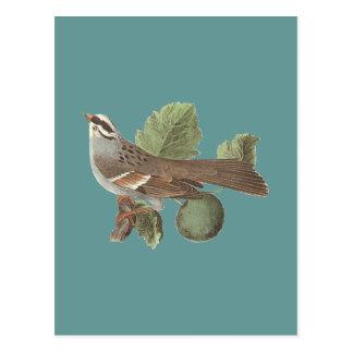Carte Postale Le moineau Blanc-throated : Pensylvanica de