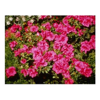 """Carte Postale Le rhododendron rose Indicum """"s'est levé"""" des"""