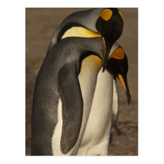 Carte Postale Le Roi pingouins (patagonica d'Aptenodytes P.)