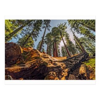 Carte Postale Le séquoia tombé