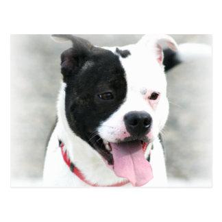 Carte Postale Le Staffordshire Terrier américain