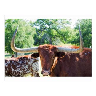 Carte Postale Le Texas magnifique Longhorn Taureau