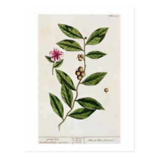 """Carte Postale Le thé vert, plaquent 351 """"d'un de fines herbes"""