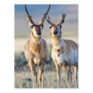 Carte Postale Le Wyoming, le comté de Sublette, mâles de