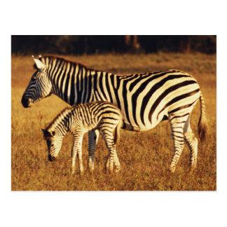 Carte Postale Le Zimbabwe, parc national de Hwange, Linkwasha