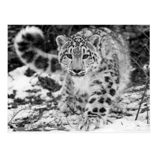 Carte Postale Léopard de neige