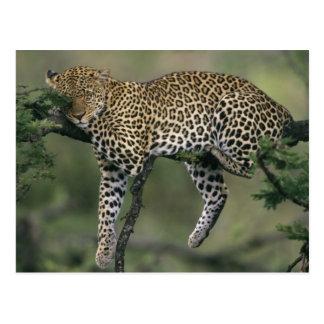 Carte Postale Léopard, (pardus de Panthera), le Kenya, masai