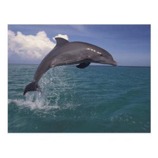 Carte Postale Les Caraïbe, Tursiops 3 de dauphin de Bottlenose