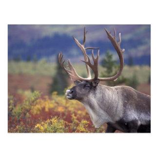 Carte Postale Les Etats-Unis, Alaska, Denali NP, caribou dans la