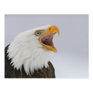 Carte Postale Les Etats-Unis, Alaska, Homer. Aigle chauve