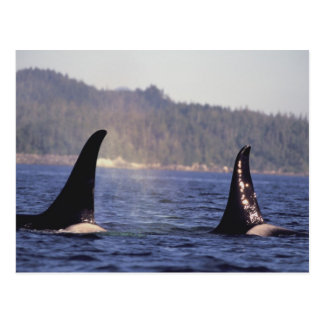 Carte Postale Les Etats-Unis, Alaska, orque de surfaçage de