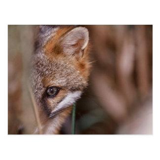 Carte Postale Les Etats-Unis, la Floride, Fox de marais
