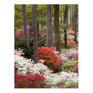 Carte Postale Les Etats-Unis, la Géorgie, montagne de pin. Une