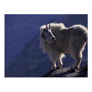 Carte Postale Les Etats-Unis, le Colorado, chèvre de montagne