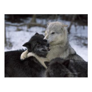 Carte Postale Les Etats-Unis, Montana, loups jouant dans la