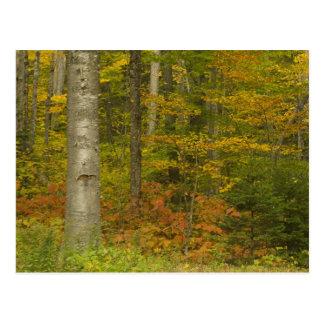 Carte Postale Les Etats-Unis, New Hampshire, Livermore, montagne