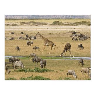 Carte Postale Les gnous, les zèbres et les girafes recueillent à