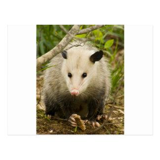 Carte Postale Les opossums sont jolis - opossum Didelphimorphia