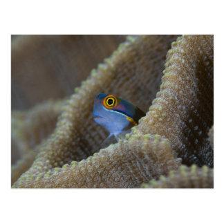 Carte Postale Les poissons de Blenny que le Blenniidae) le