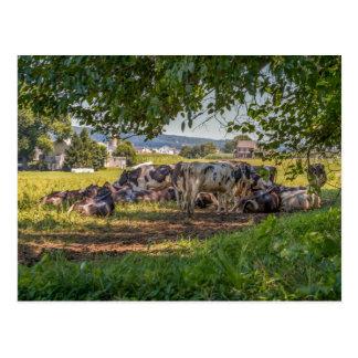 Carte Postale Les vaches de la PA de Lancanster