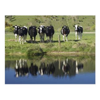 Carte Postale Les vaches se sont reflétées dans le canal,