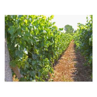 Carte Postale Les vignes se sont exercées haut sur des fils