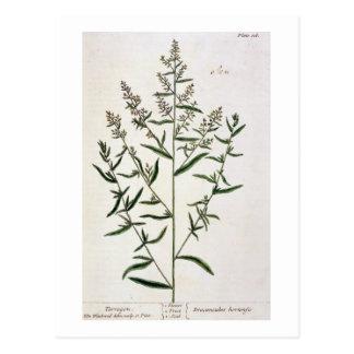 "Carte Postale L'estragon, plaquent 116 ""d'un de fines herbes"