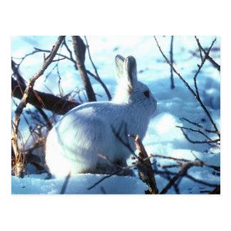 Carte Postale Lièvres arctiques