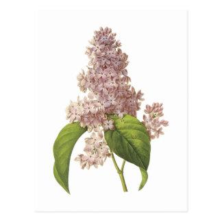 Carte Postale lilas (espèces de Syringa) par Redouté