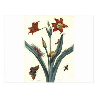 Carte Postale Lilie par coeur par Maria Sibylla Merian