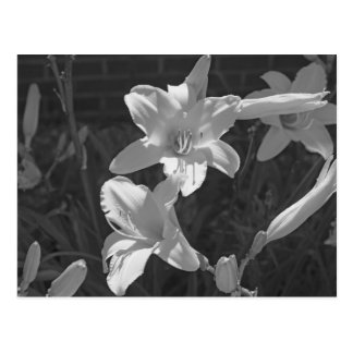 Carte Postale Lillies