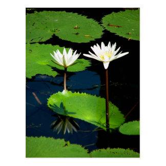 Carte Postale Lillies de l'eau, EL Golfete, Guatemala