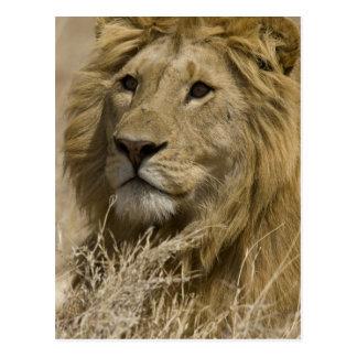 Carte Postale Lion africain, Panthera Lion, portrait d'a